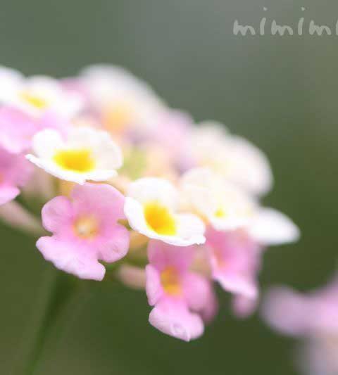 ランタナ(シチヘンゲ・七変化)の花の写真・花言葉
