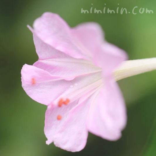 オシロイバナの花