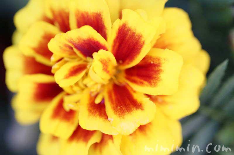 マリーゴールド(黄色×赤)の写真 花言葉