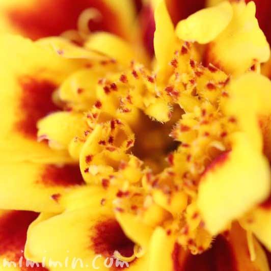 マリーゴールド(黄色×赤) 花言葉