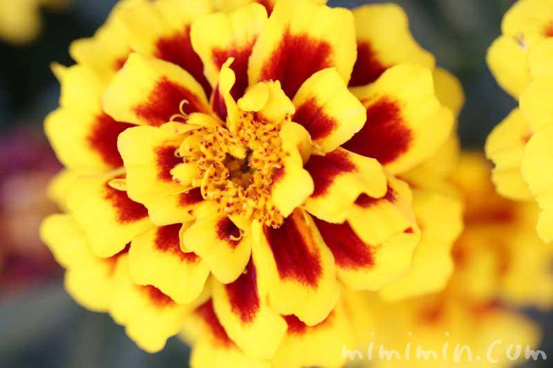 マリーゴールド(黄色×赤)の花の写真 花言葉