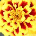 マリーゴールド(黄色×赤)の花の写真と花言葉の画像