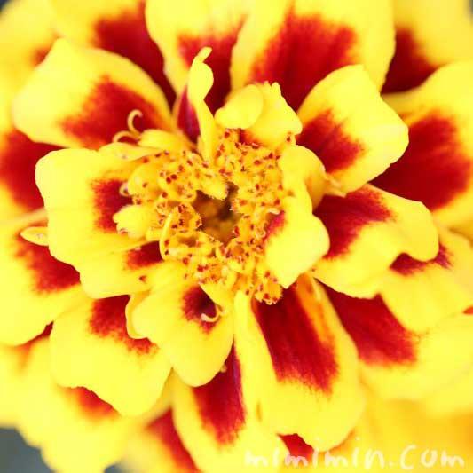 マリーゴールド(黄色×赤)の花言葉の画像