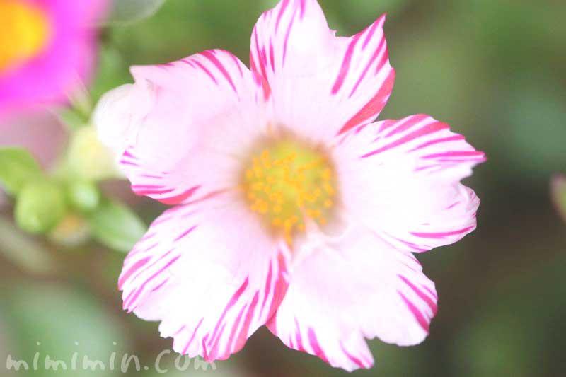 ポーチュラカの花(絞り咲き)の写真