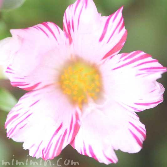 ポーチュラカ・しぼり咲き