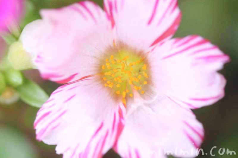 ポーチュラカ・しぼり咲きの画像