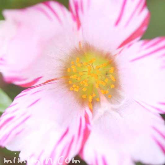 ポーチュラカ(絞り咲き)
