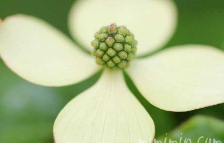 ヤマボウシの花言葉と誕生花と伝説