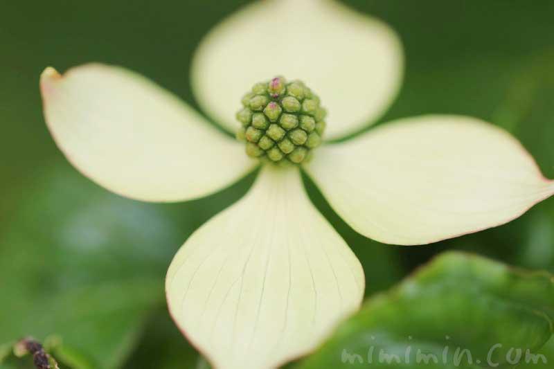 ヤマボウシの花の写真・花言葉・誕生花・伝説の画像
