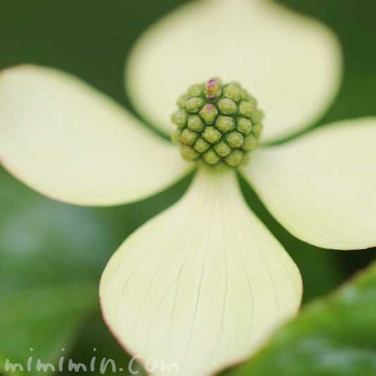 ヤマボウシの写真と花言葉と誕生花と伝説