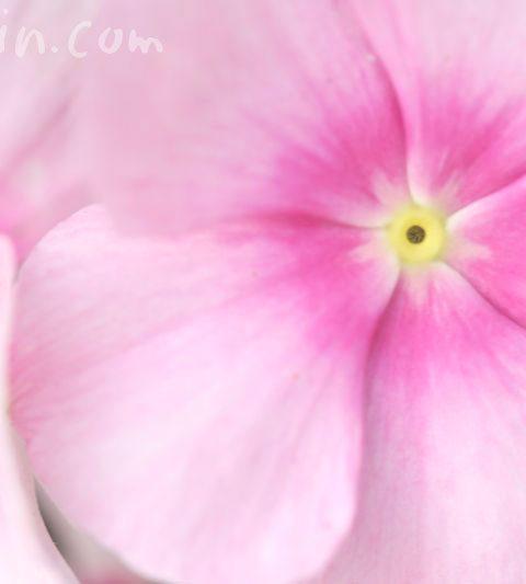 ニチニチソウ(日々草)の花の写真&花言葉
