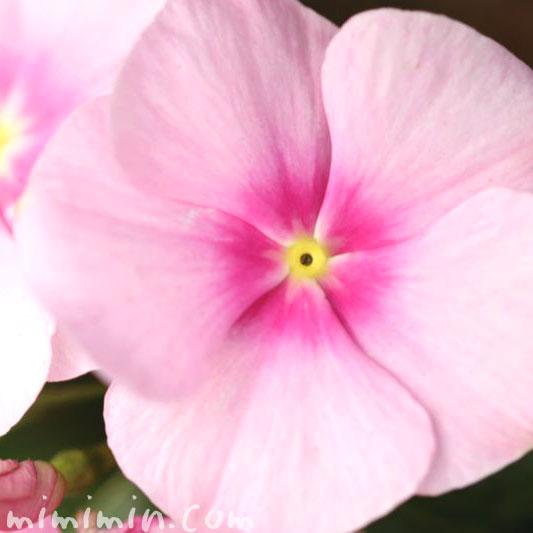 日々草の花・ピンク