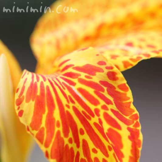 カンナリリーの花の写真
