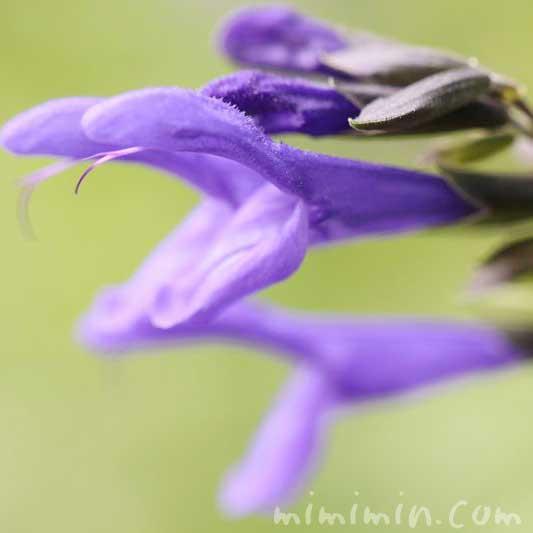 サルビア・グアラニティカの花の写真
