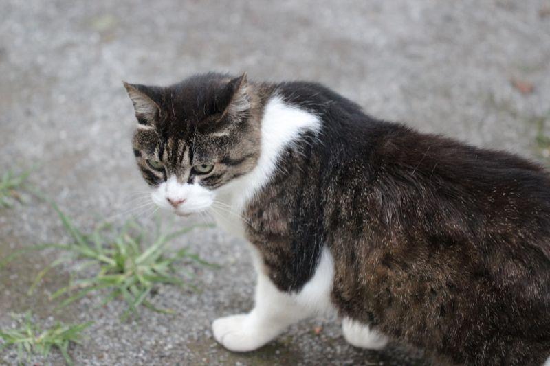 振り返って睨むネコの画像