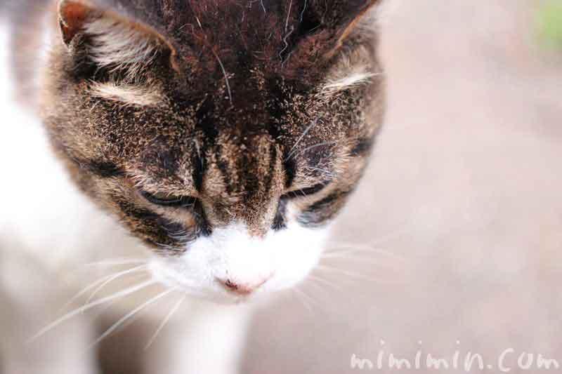 伏せ目のネコの画像