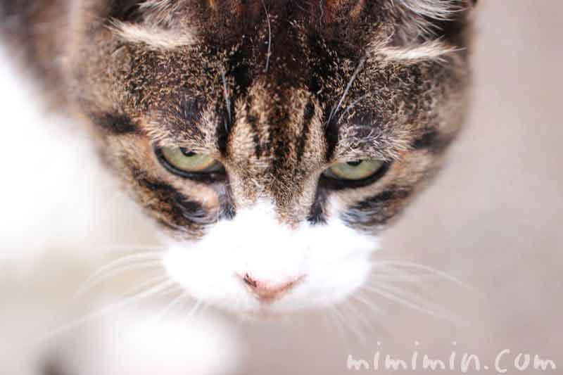 睨む目付きの悪い猫の写真