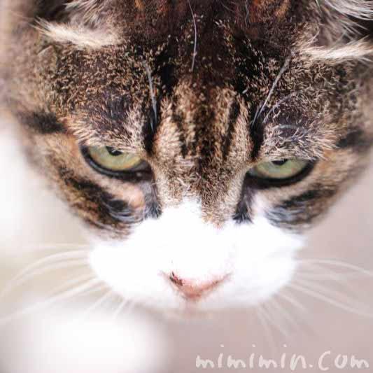 猫・目付きが悪い画像