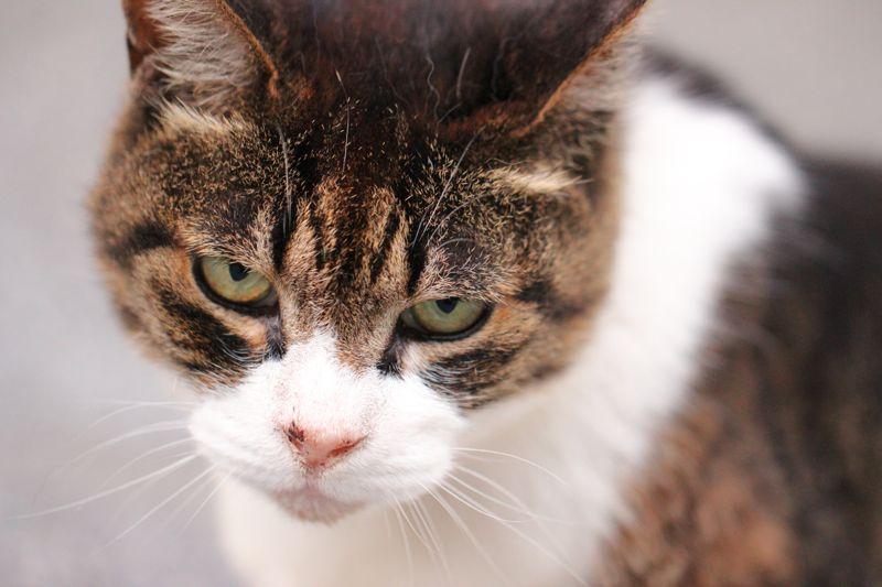 目つきの悪いネコの画像