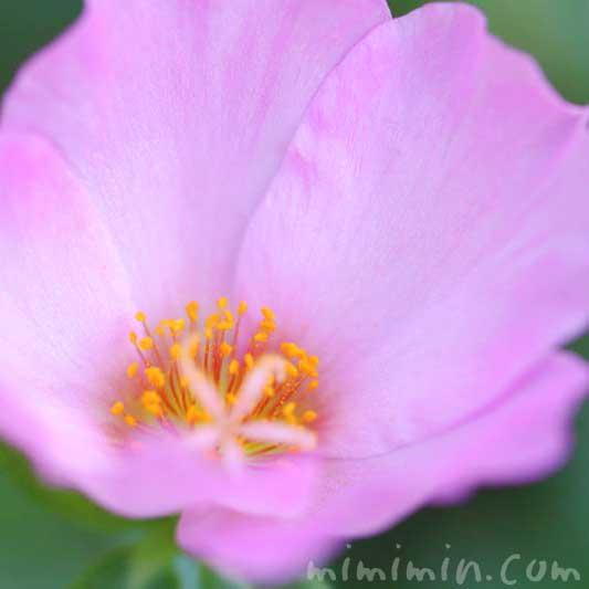ポーチュラカの花(ピンク)