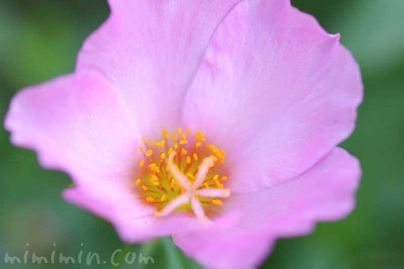 ポーチュラカの花(薄いピンク)の写真