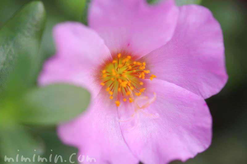 ハナスベリヒユの花(ピンク)