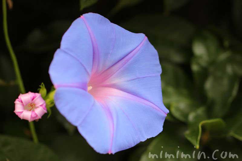 青い朝顔の写真