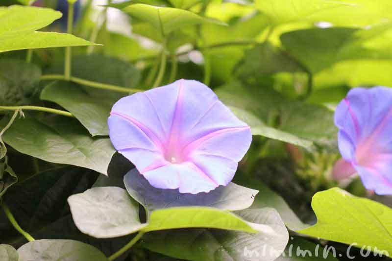 アサガオの花の画像