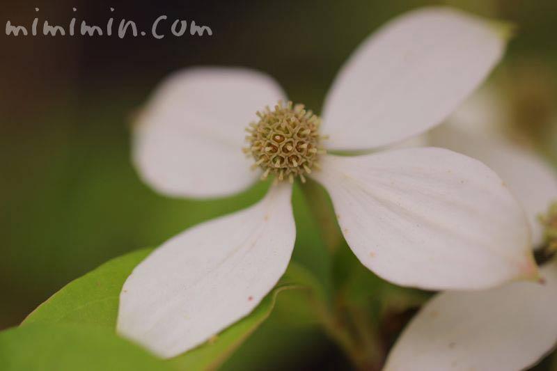 山法師の花の画像