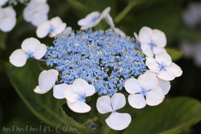 青いガクアジサイの写真と花言葉の画像