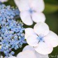 青いガクアジサイの花の写真・花言葉の写真