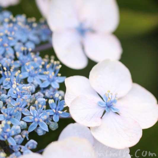 青いガクアジサイの写真・花言葉