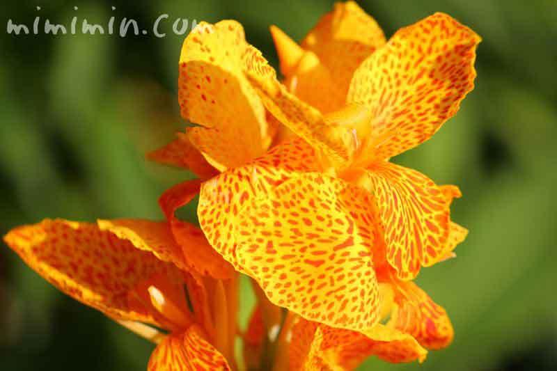 カンナの花の写真