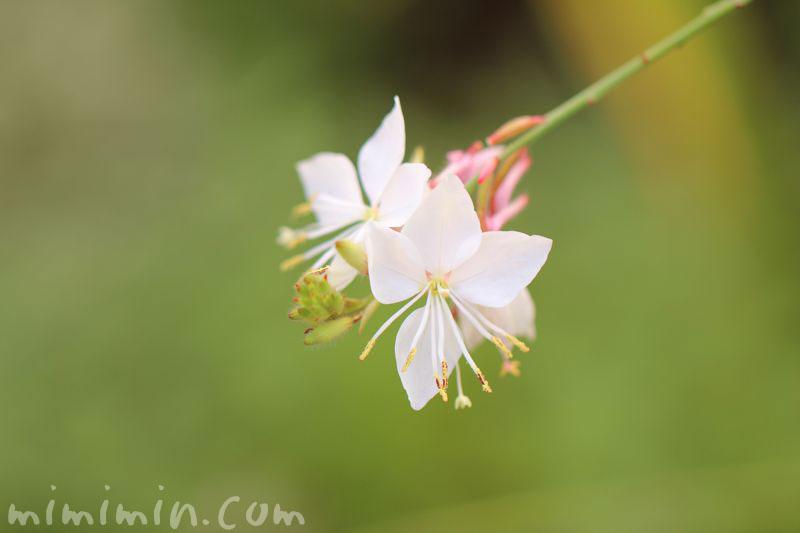 白蝶草の花の画像