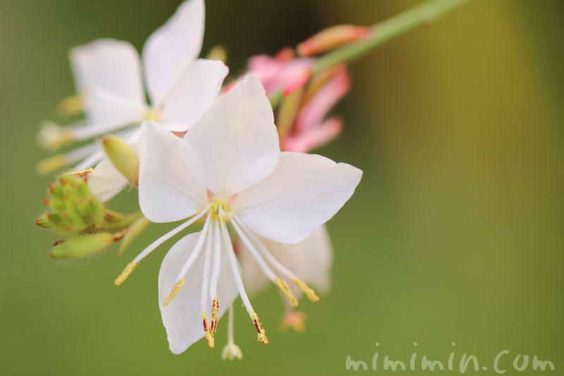 白いガウラの花の写真