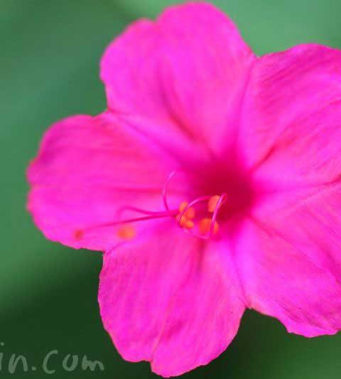 オシロイバナの花の写真・花言葉・毒性
