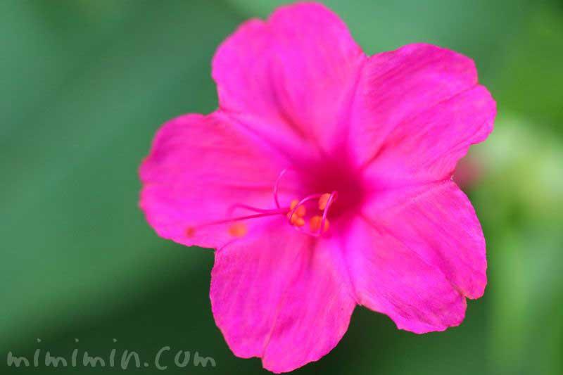 オシロイバナ(濃いピンク)