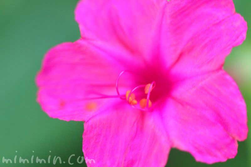 白粉花(濃いピンク)