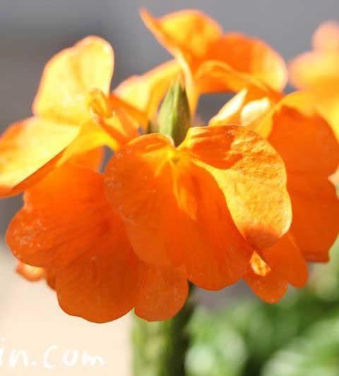 クロサンドラ(クロッサンドラ)の花言葉・花の写真