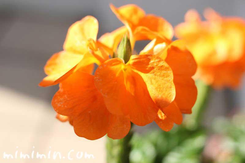 クロサンドラ(クロッサンドラ)の花の写真