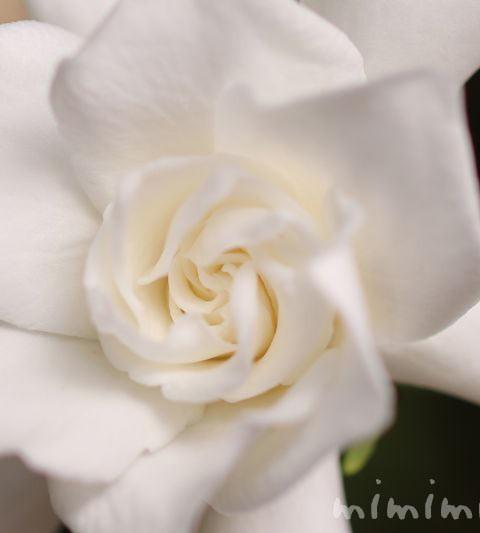 クチナシの花言葉・誕生花・名前の由来