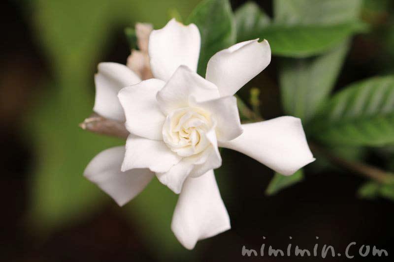 クチナシの白い花の写真