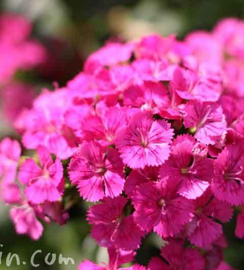 ヒゲナデシコ(髭撫子)の花の写真・花言葉