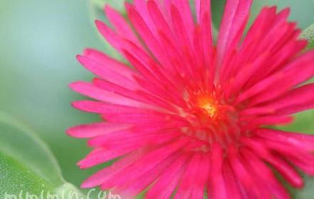 ベビーサンローズの花の写真