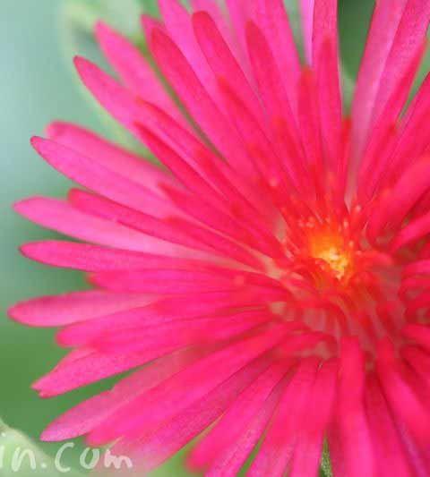 ベビーサンローズ(ハナツルソウ・アプテニア)の花の写真・花言葉