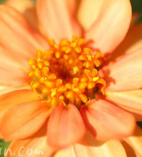 百日草(ヒャクニチソウ 別名ジニア)の花言葉・誕生花