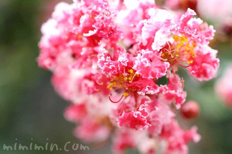 百日紅の花・紅白絞り・夏祭りの画像