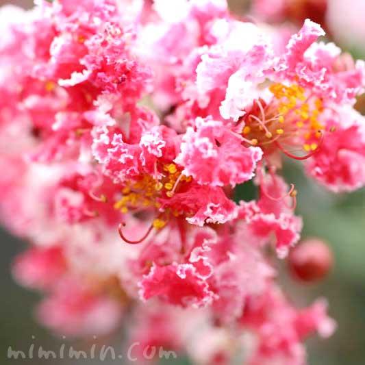 サルスベリ 紅白絞り「夏祭り」の画像