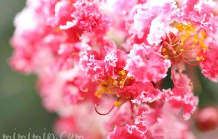百日紅・紅白絞り咲きの写真