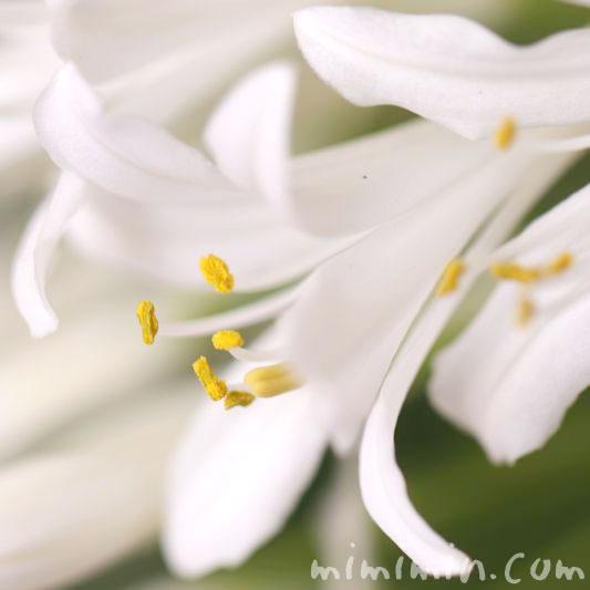 白いアガパンサスの花